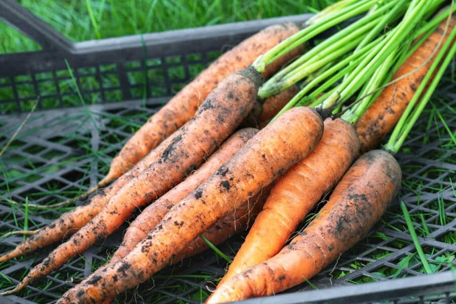 Bio Karotten