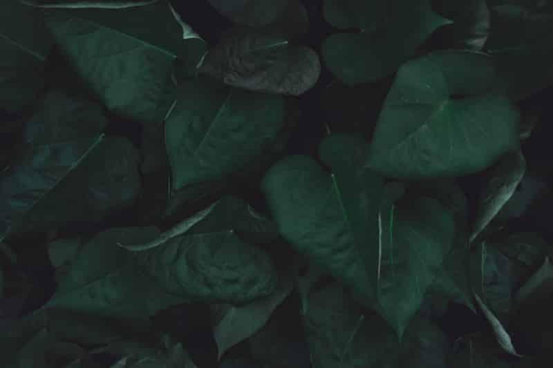 Kann man Süßkartoffel Blätter essen