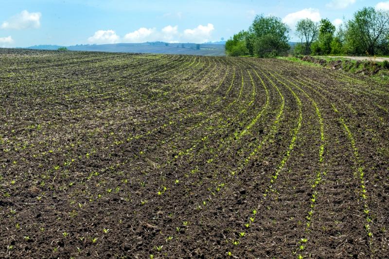 Zuckerrüben auf dem Feld