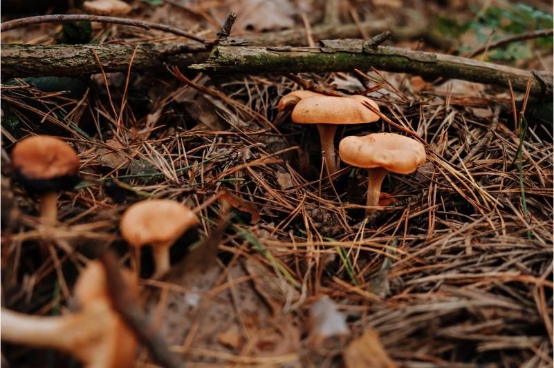 Pilze aus denen Leder gemacht wird