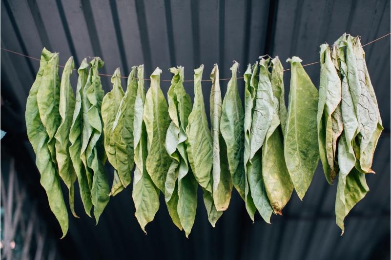 Blätter aus denen veganes Leder gemacht wird