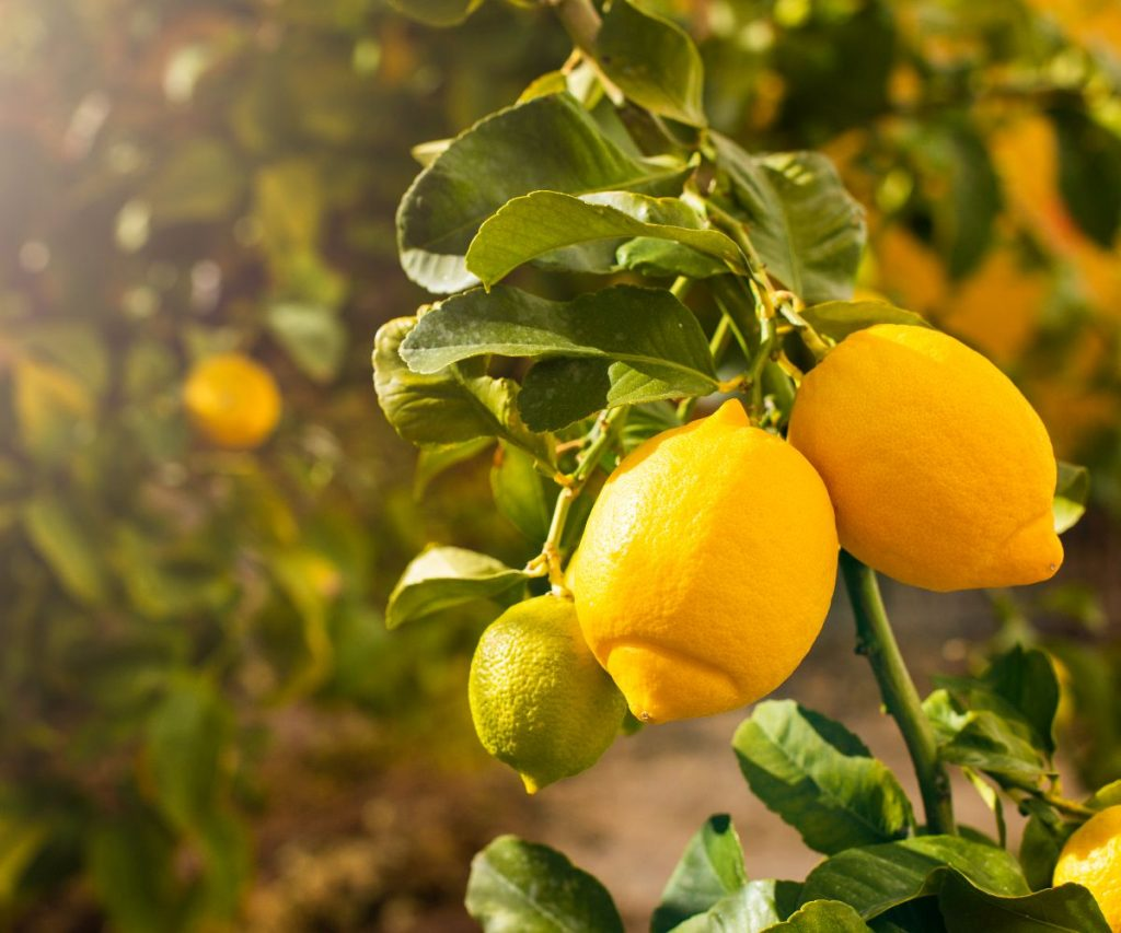 Ztronen lagern - so lange halten Zitronen