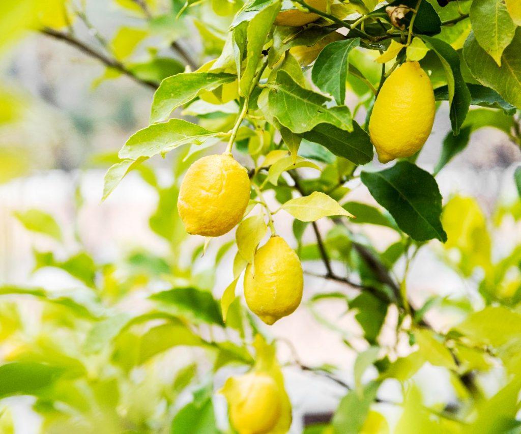 Woran erkennt man frische Zitronen