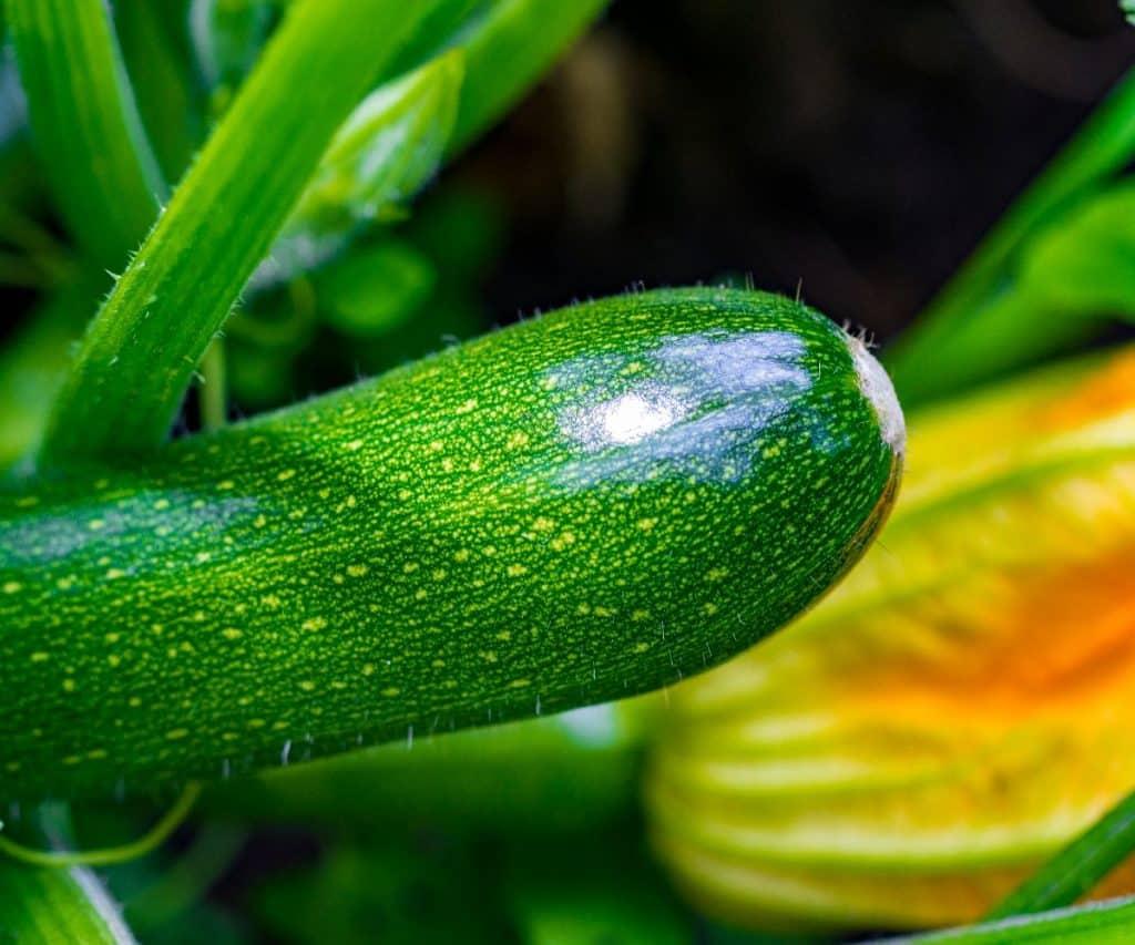 Selbstgeerntete Zucchini lagern