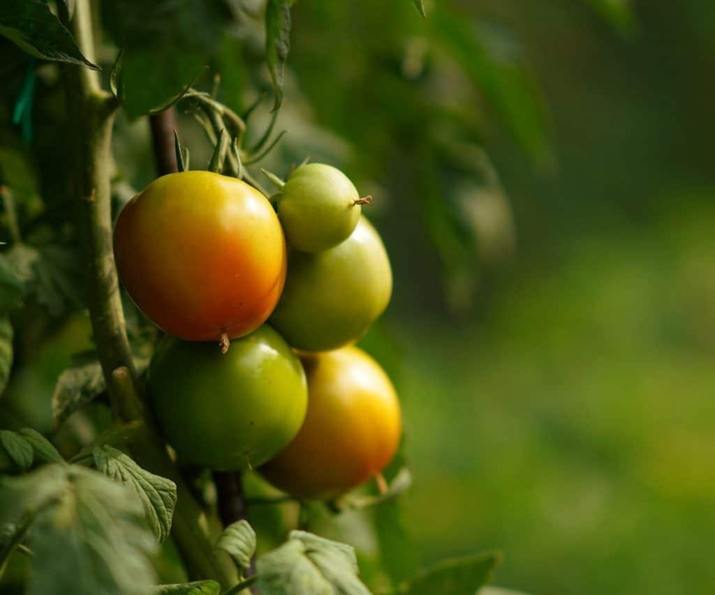 Woran erkennt man frische Tomaten?